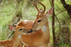 A rare moment of bonding in nature as White tail buck touches noses with his fawn. Beautiful backlighting.